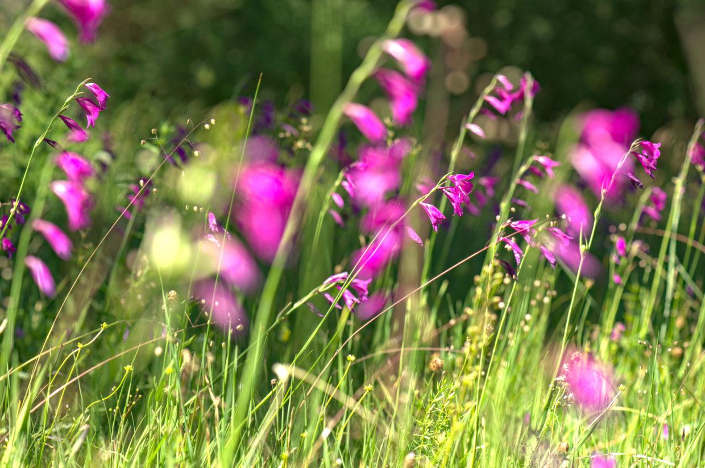 Sumpf-Gladiole-oder-Sumpf-Siegwurz-Wiese