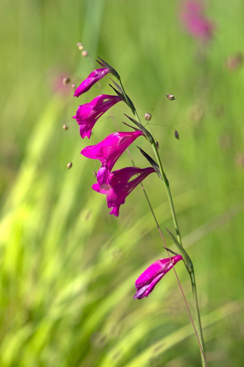 Sumpf-Gladiole-oder-Sumpf-Siegwurz