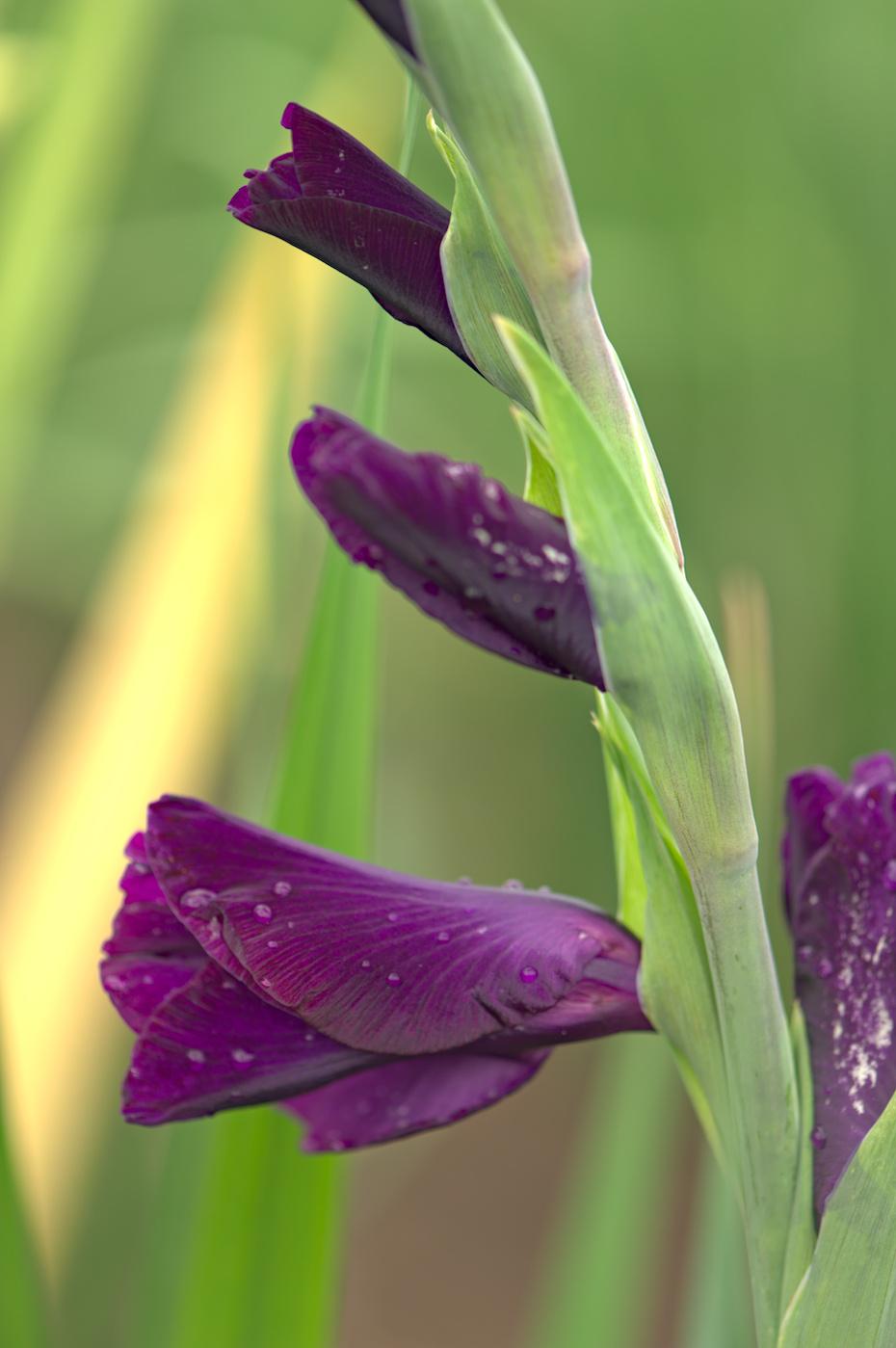 Gladiolensegel