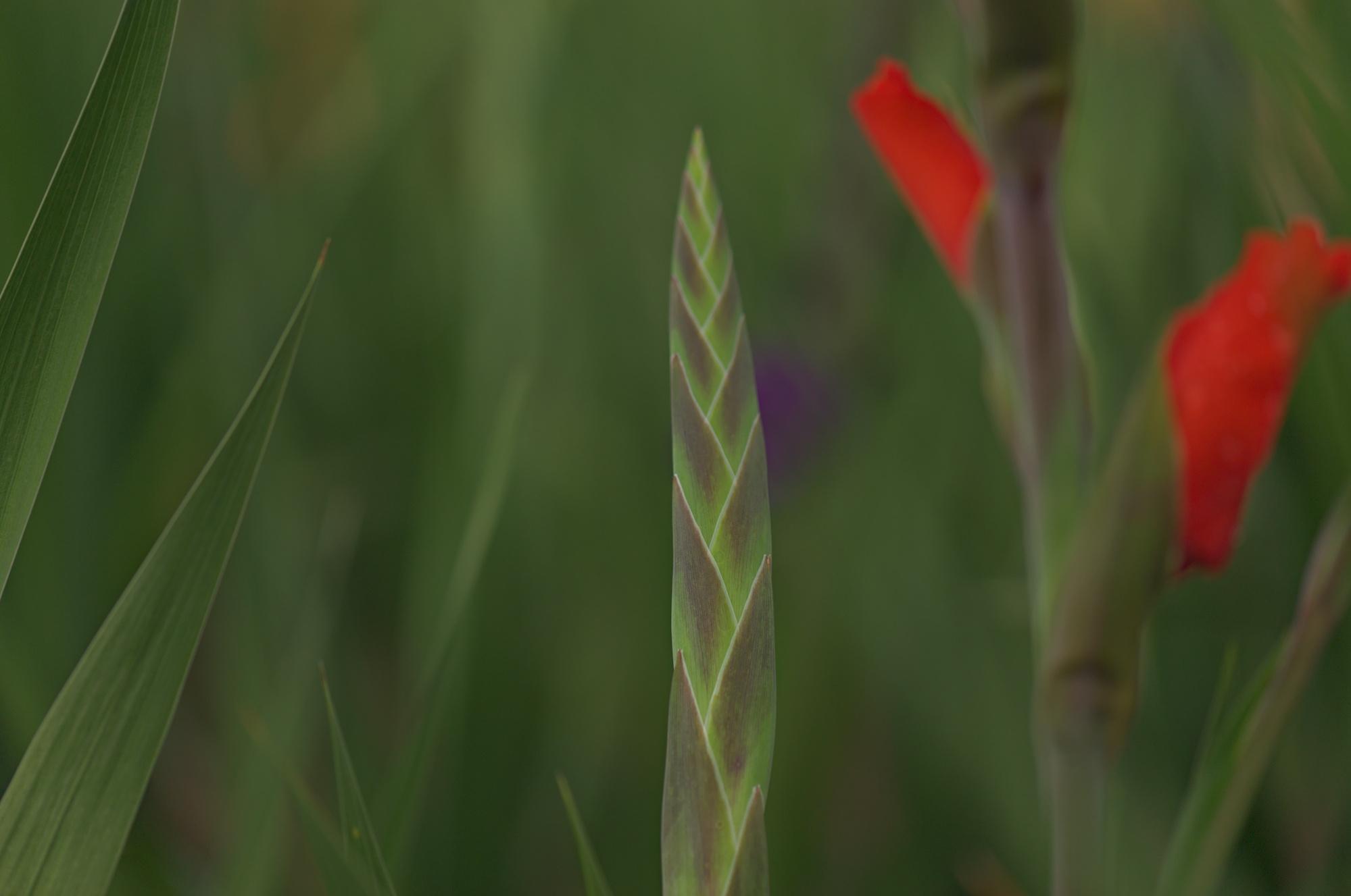 Gladiolenstengel